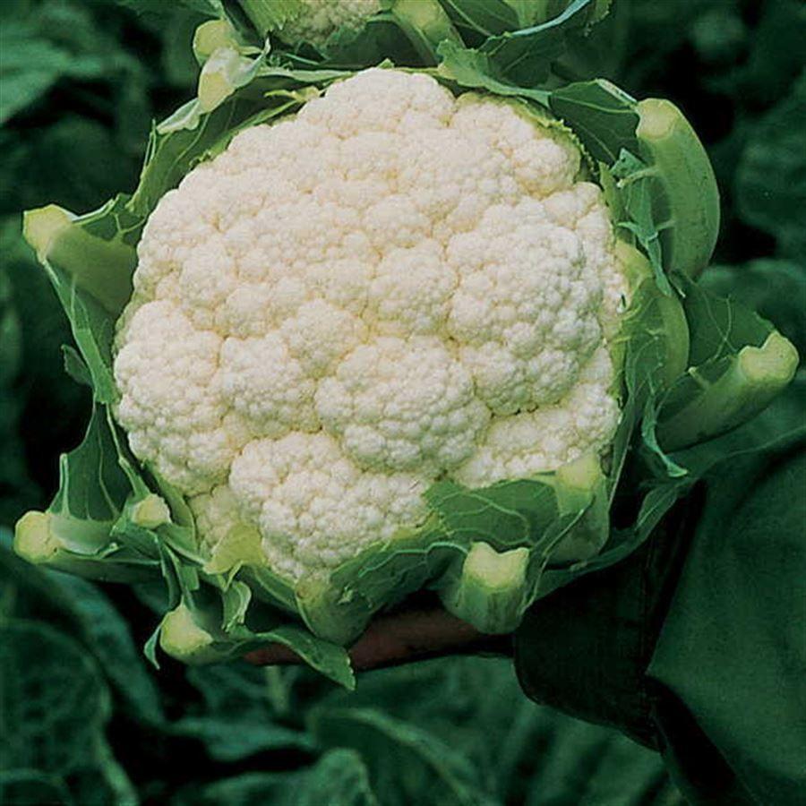 Amazing Cauliflower Seeds Image