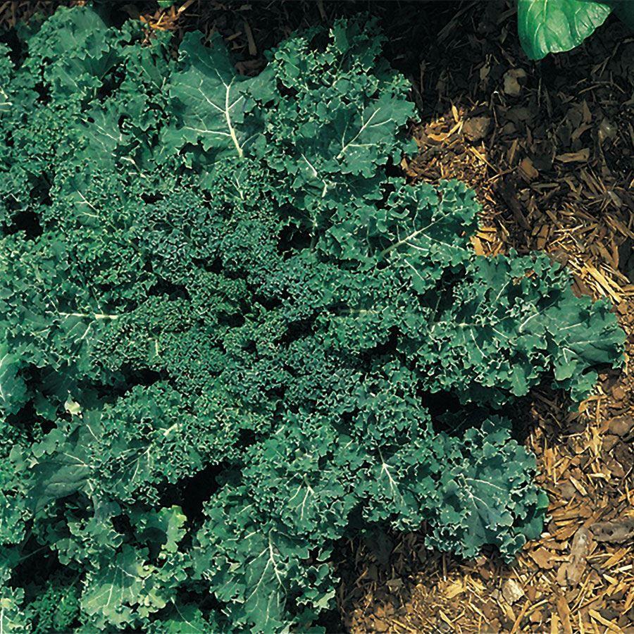 Winterbor Hybrid Kale Seeds Image