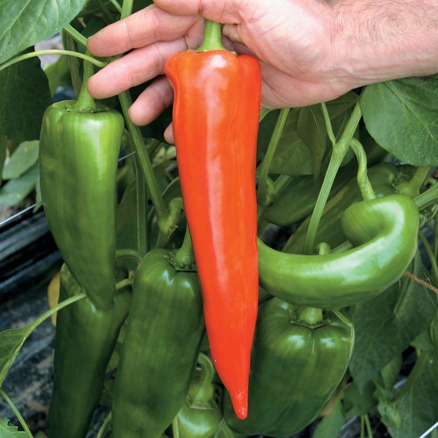 Atris Hybrid Pepper Seeds Image
