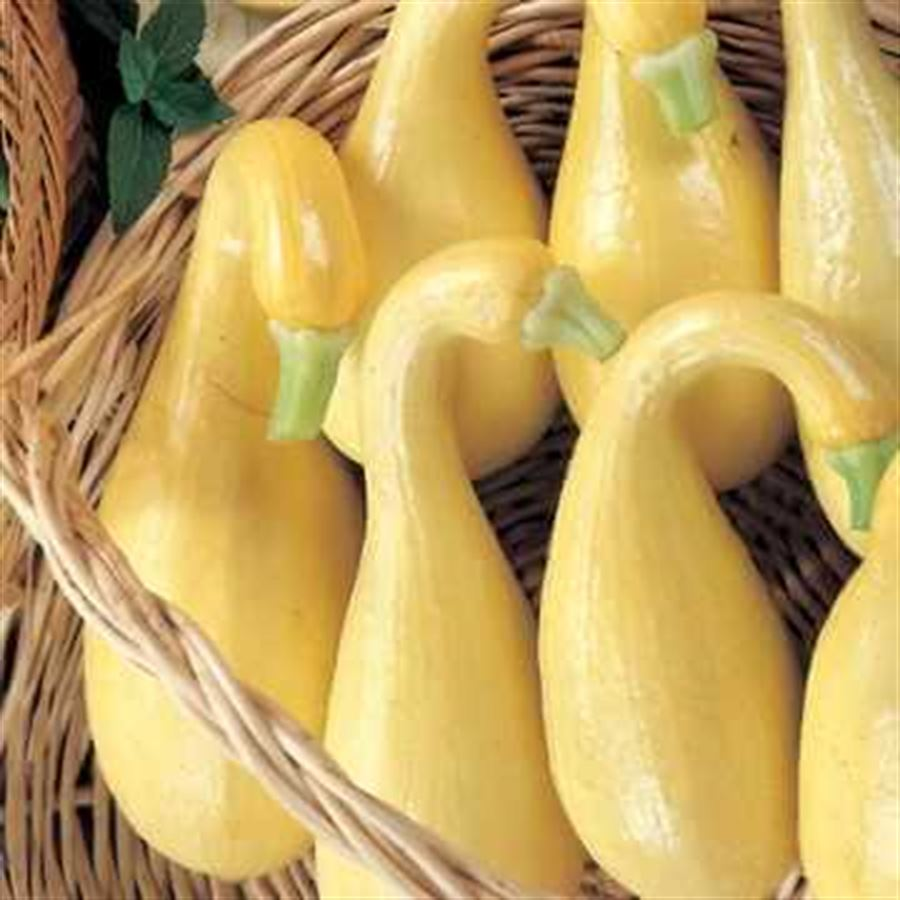 Early Summer Crookneck Organic Squash Seeds Image
