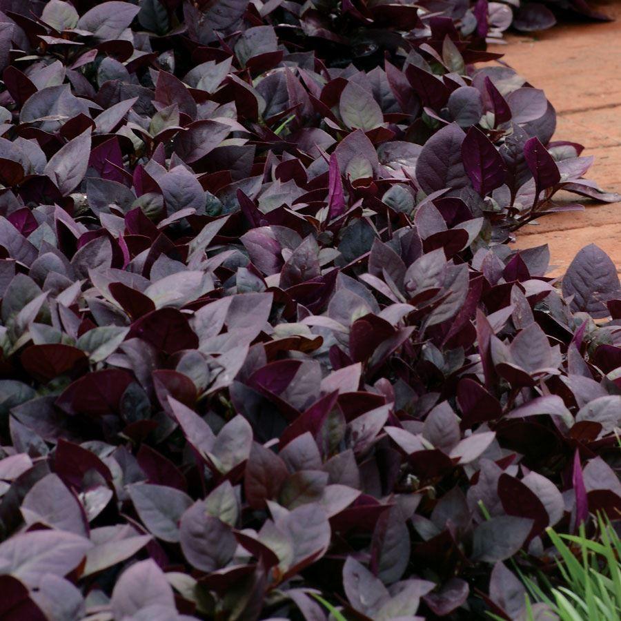 Purple Prince Alternanthera Seeds Image