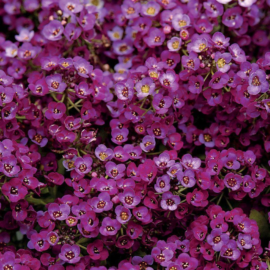 Clear Crystal® Purple Shades Sweet Alyssum Seeds Image