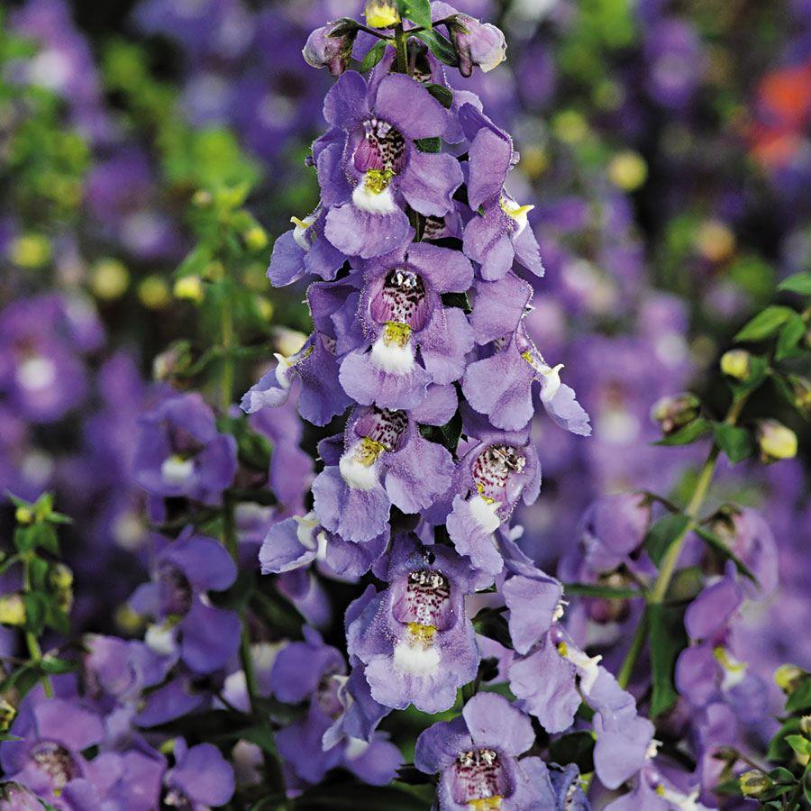 Serena® Blue Angelonia Seeds Image