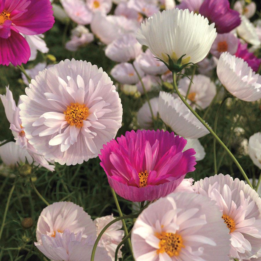 'Cupcakes and Saucers Mix' Cosmos Seeds Image