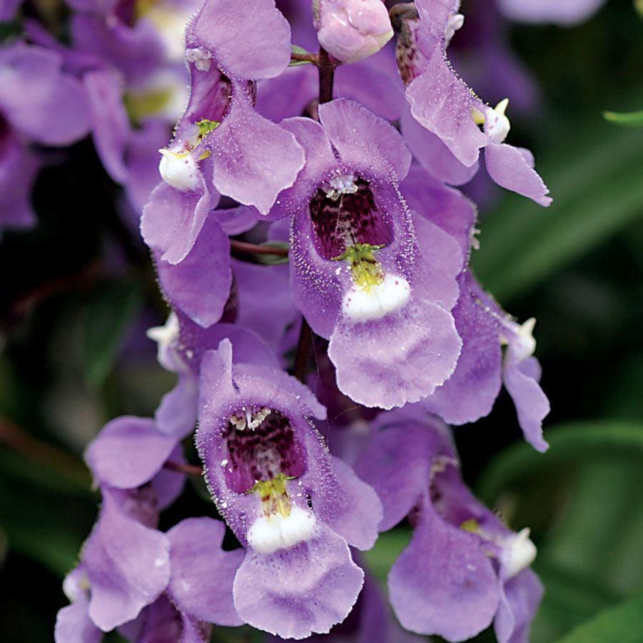 Serenita® Sky Blue Angelonia Seeds Image