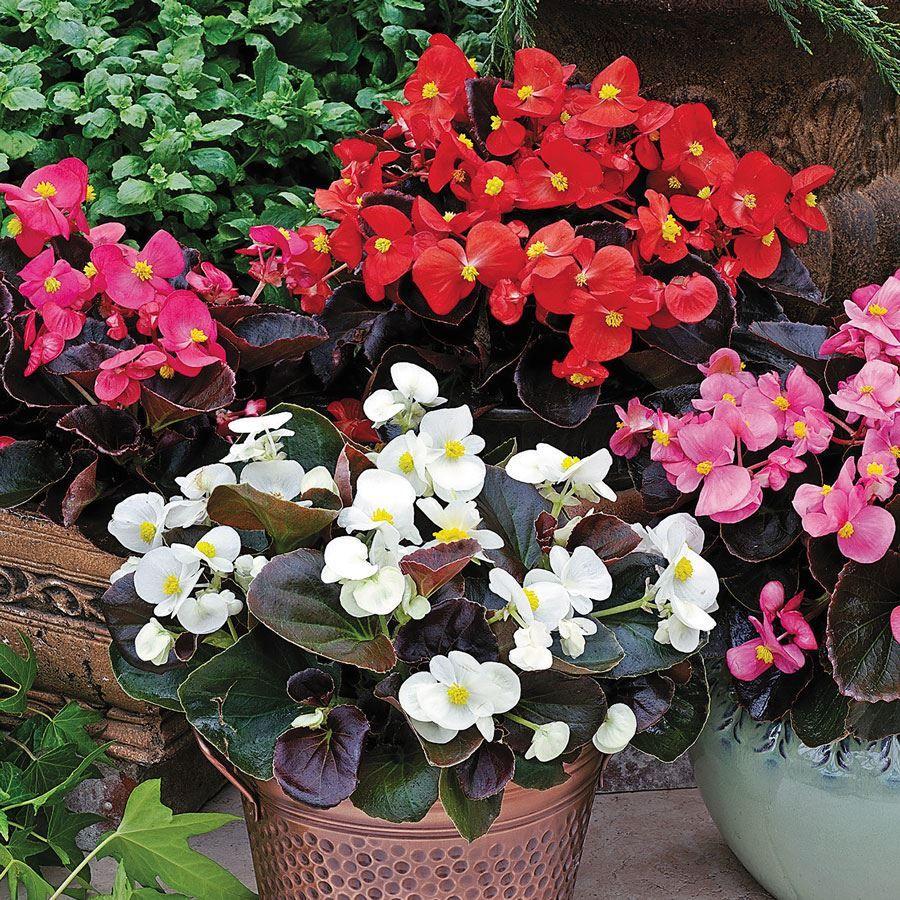 Bada Boom® Mix Begonia Seeds Image