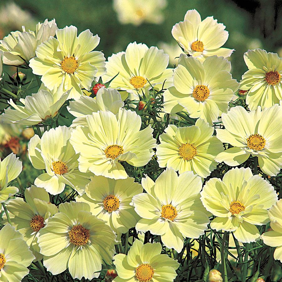 Xanthos Cosmos Seeds Image