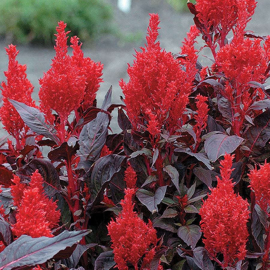 China Town Celosia Seeds Image