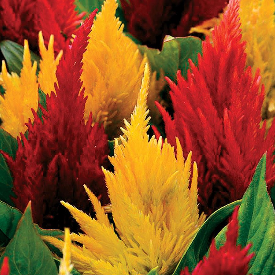 First Flame™ Mix Celosia Seeds Image