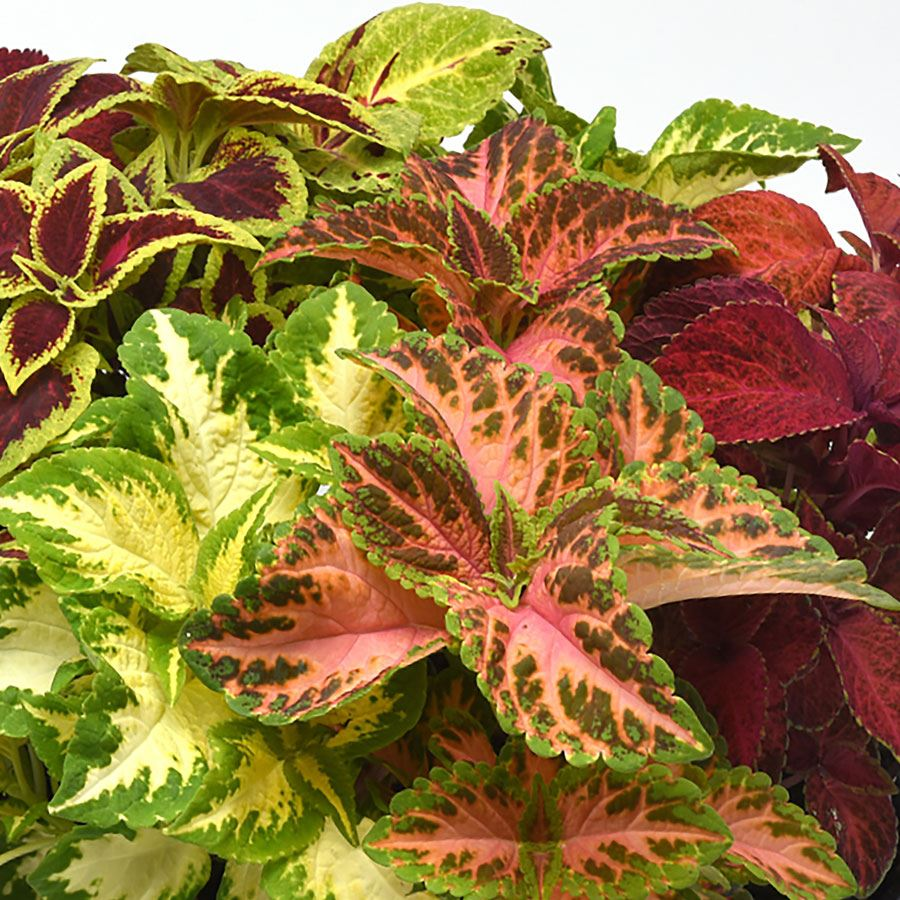 Wizard® Select Mix Improved Coleus Seeds Image