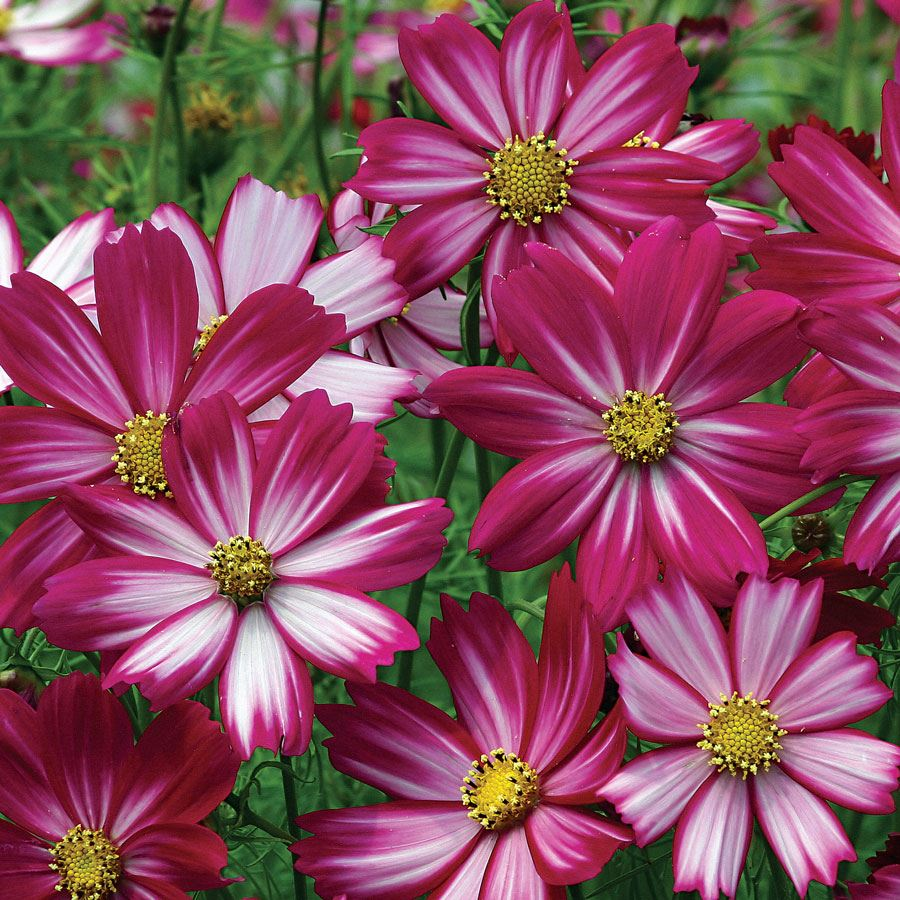 Peppermint Candy Cosmos Seeds Image