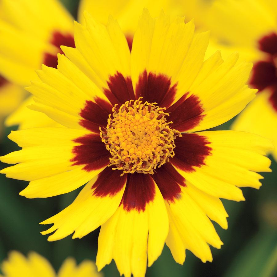 SunKiss Coreopsis Seeds Image