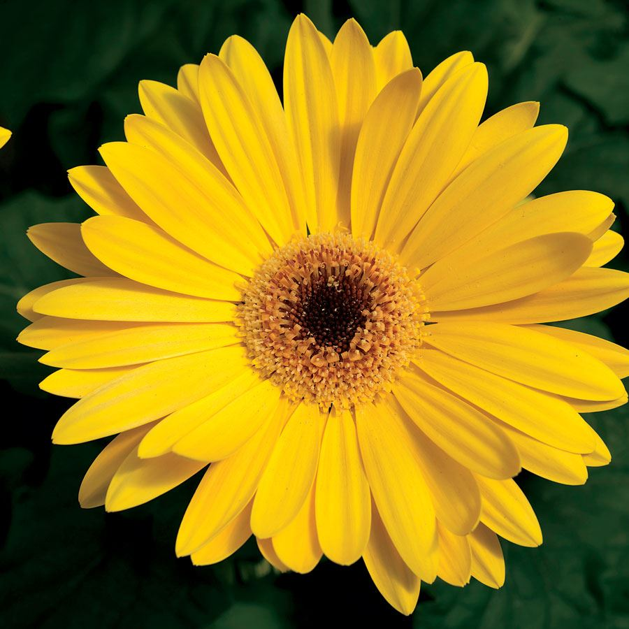 Majorette Yellow Dark Eye Hybrid Gerbera Daisy Seeds Image