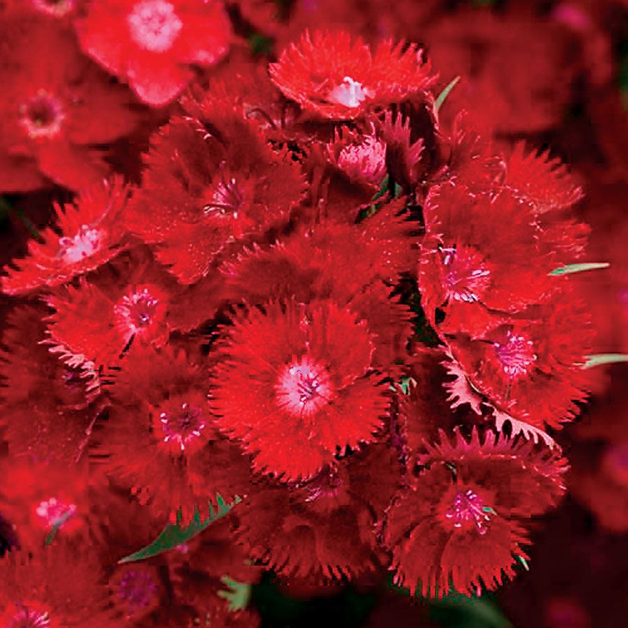 Rockin' Red Dianthus Seeds Image