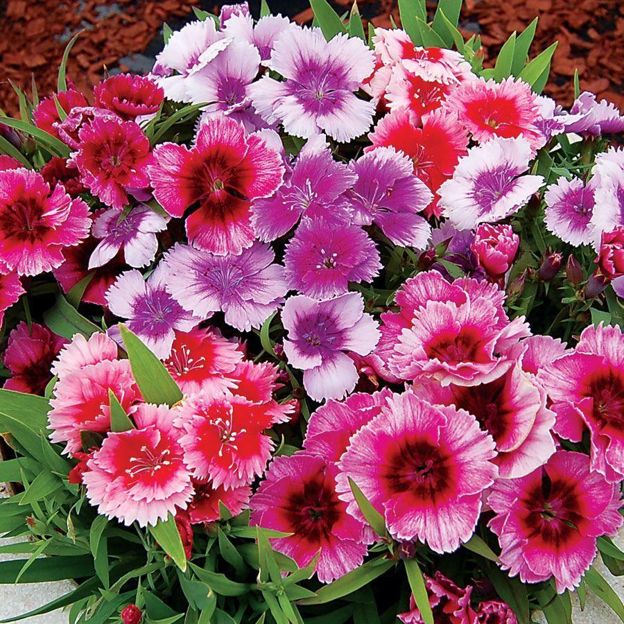 Diana Picotee Mix Dianthus Seeds Image