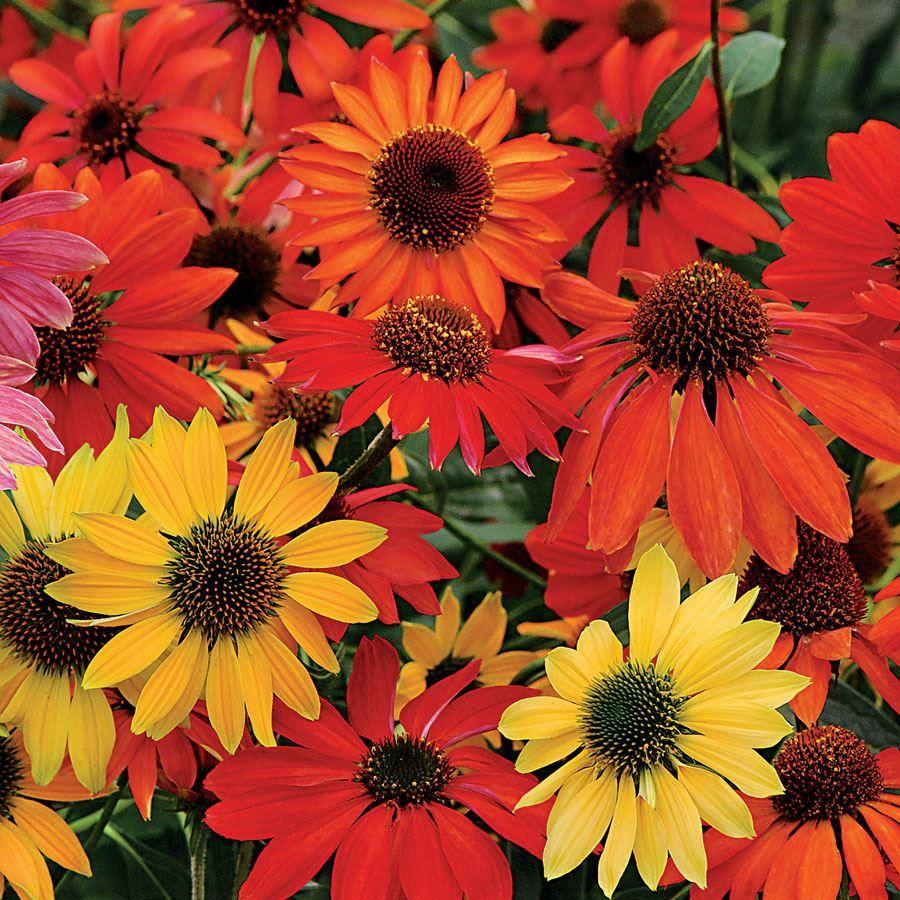 Cheyenne Spirit Coneflower Seeds Image