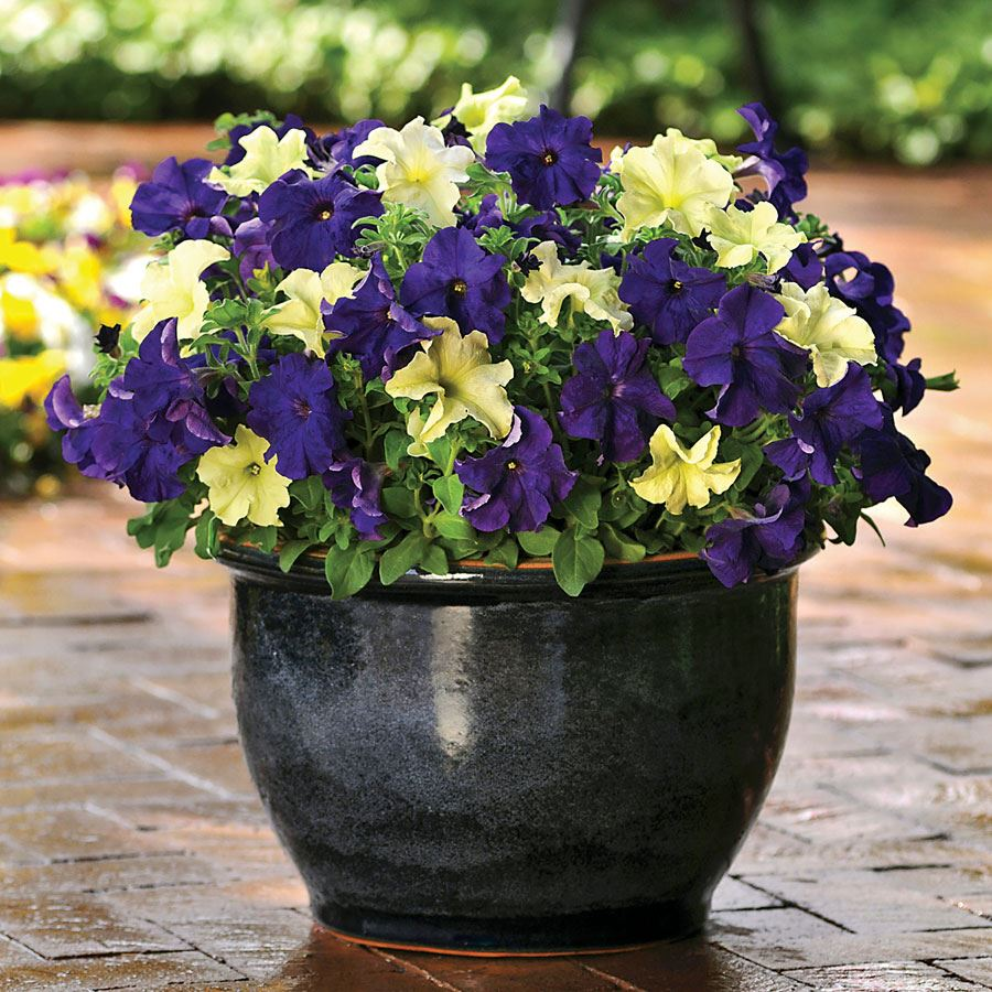 Fuseables® Blueberry Lime Jam Petunia Seeds Image