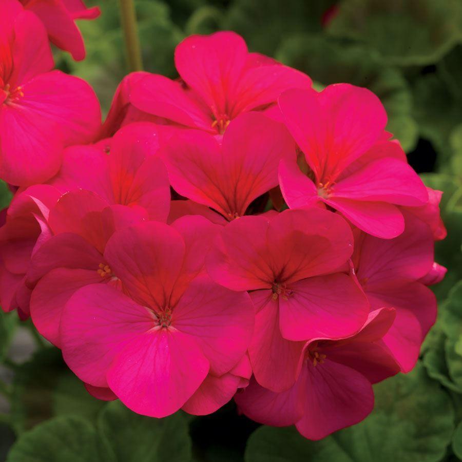 Pinto™ Premium Violet Hybrid Geranium Seeds Image