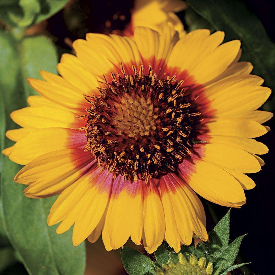 Mesa™ Bright Bicolor Hybrid Blanket Flower Seeds Image