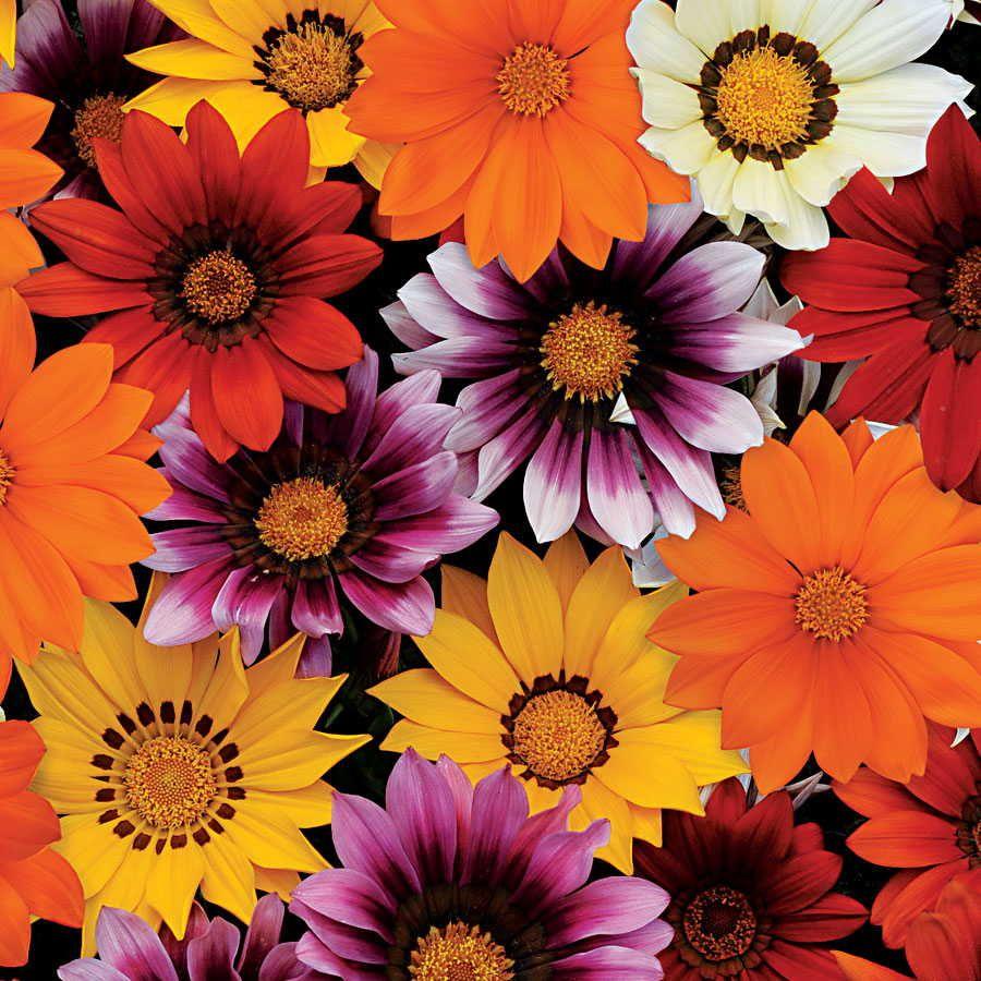 New Day Mix Hybrid Gazania Seeds Image