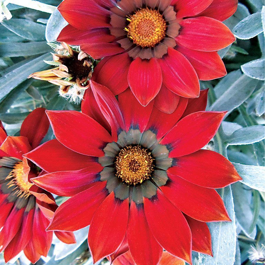 Frosty Kiss™ Red Hybrid Gazania Seeds Image