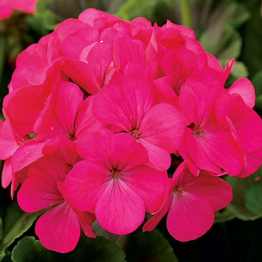Maverick™ Rose Hybrid Geranium Seeds Image