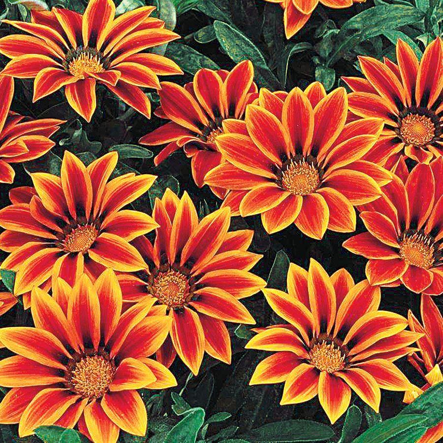 Frosty Kiss™ Orange Flame Hybrid Gazania Seeds Image