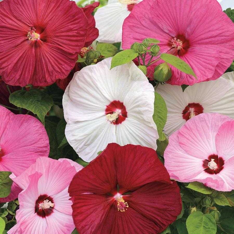 Luna™ Mix Hibiscus Seeds Image