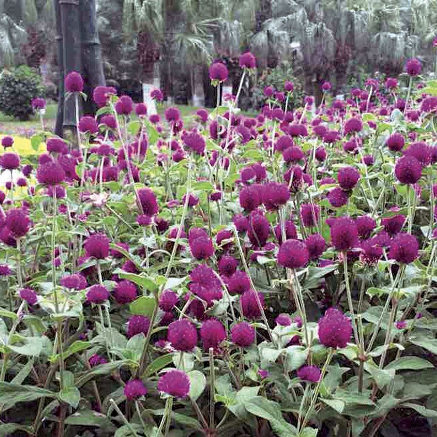 Las Vegas Purple Gomphrena Seeds Image