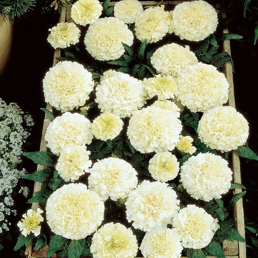 Vanilla Improved Marigold Seeds Image