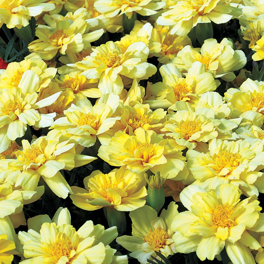 Alumia Vanilla Cream Marigold Seeds Image