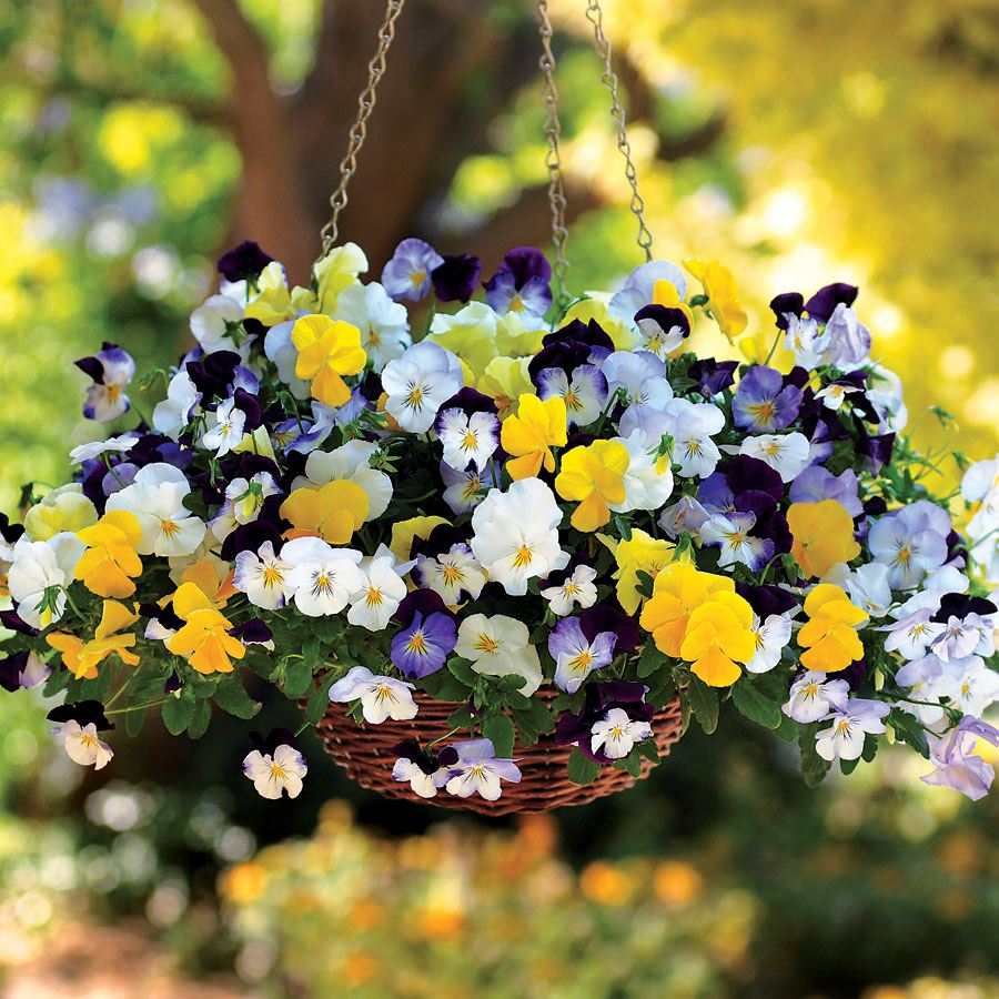 Cool Wave® Mix Pansy Seeds Image