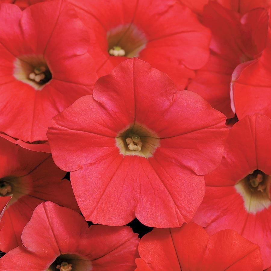 Shock Wave® Coral Crush Petunia Seeds Image