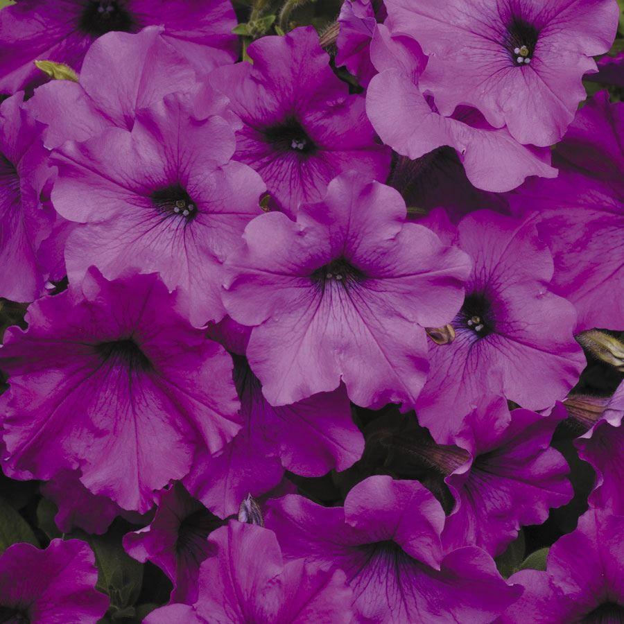 Easy Wave® Violet Hybrid Petunia Seeds Image