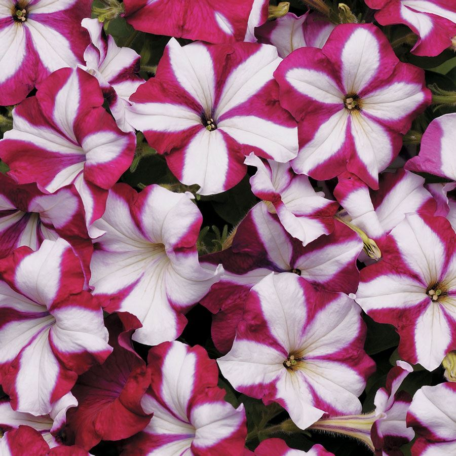 Easy Wave® Burgundy Star Petunia Seeds Image