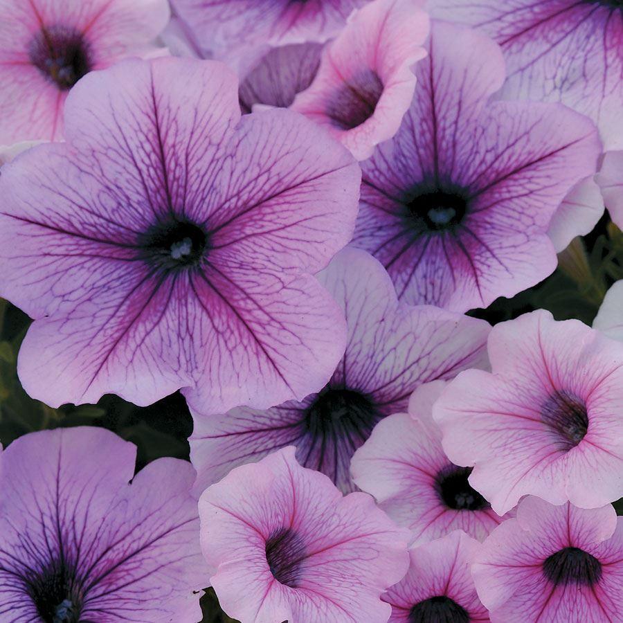 Easy Wave® Plum Vein Petunia Seeds Image