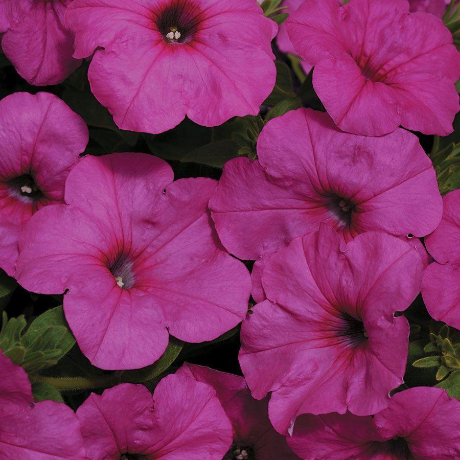 Easy Wave® Neon Rose Petunia Seeds Image