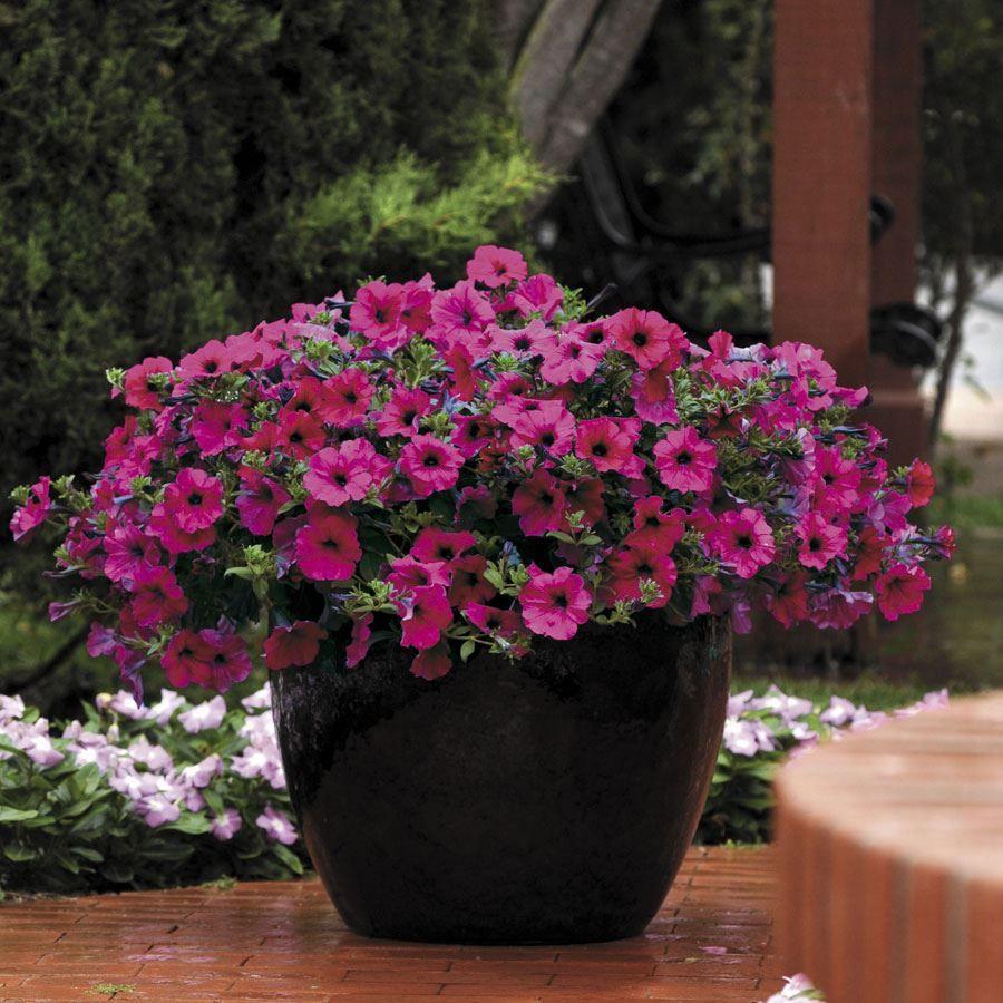 Wave® Purple Improved Hybrid Petunia Seeds Image