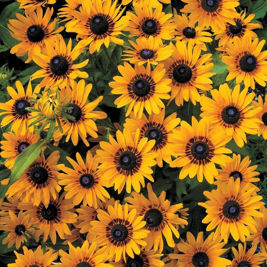 Denver Daisy Rudbeckia Seeds Image