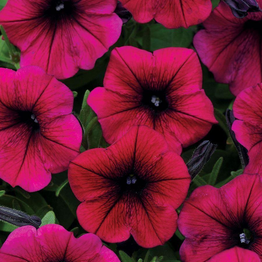 Shock Wave® Deep Purple Petunia Seeds Image