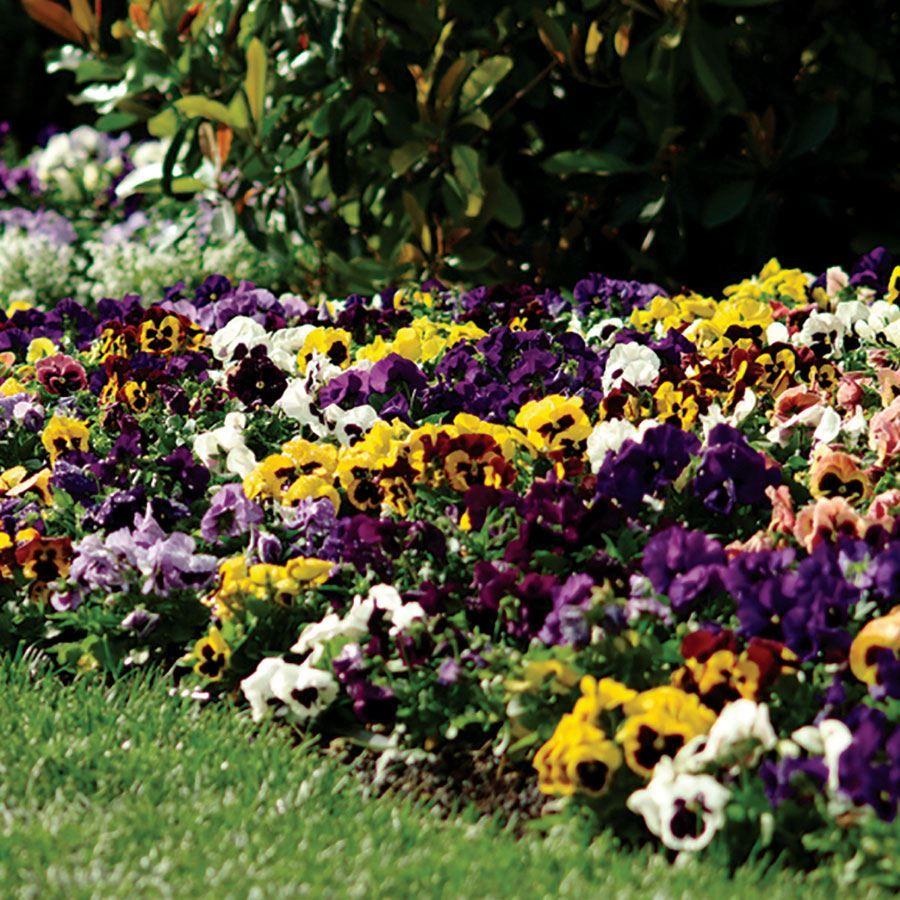 Spring Matrix™ Blotch Mix Pansy Seeds Image
