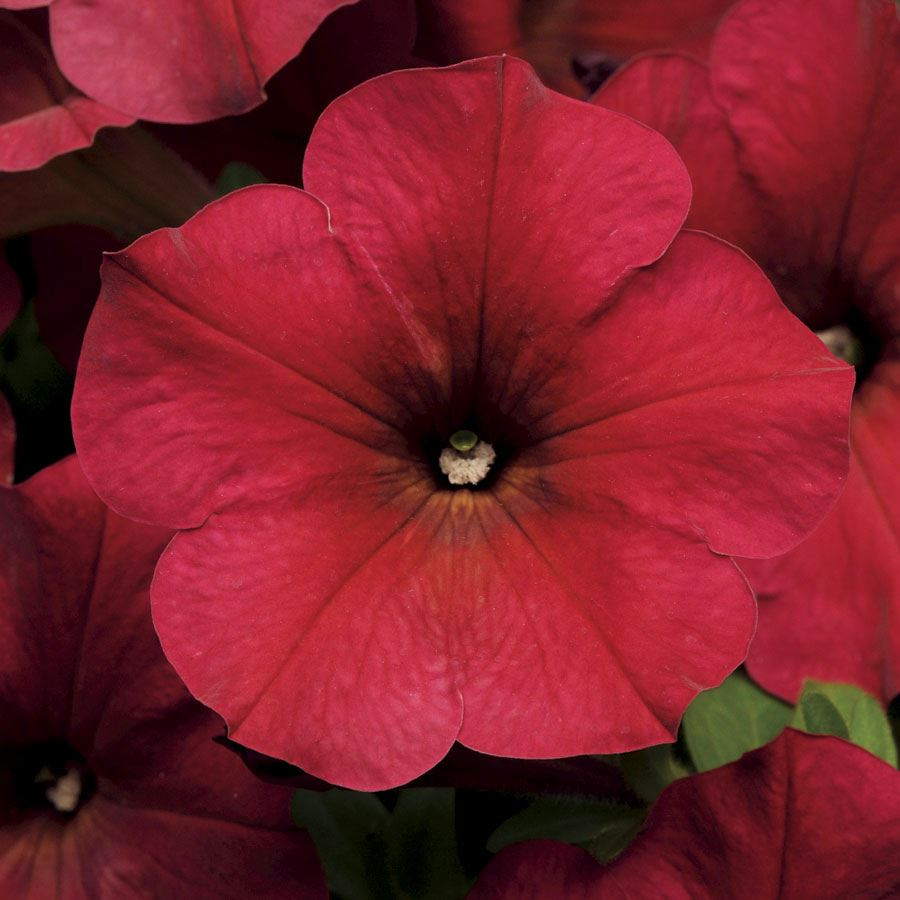 Easy Wave® Berry Velour Petunia Seeds Image