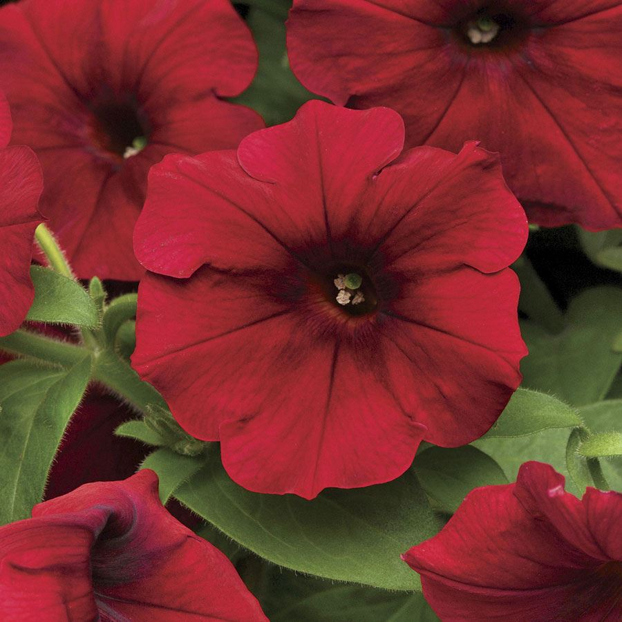 Easy Wave® Red Velour Petunia Seeds Image
