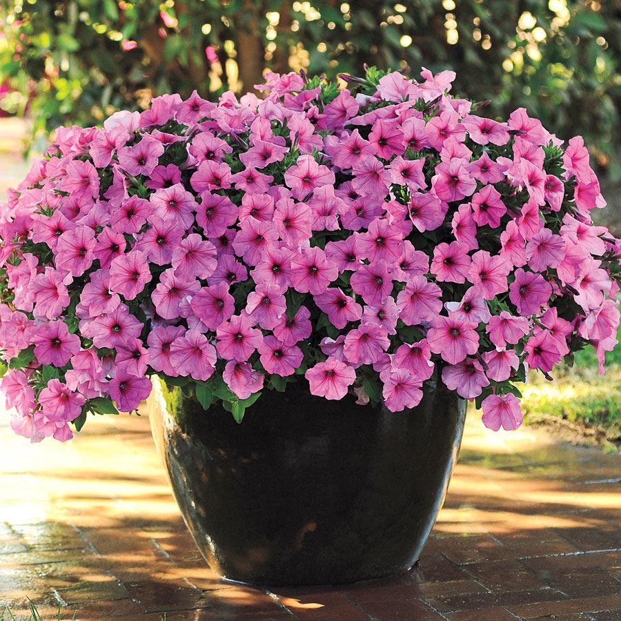 Easy Wave® Pink Passion Petunia Seeds Image