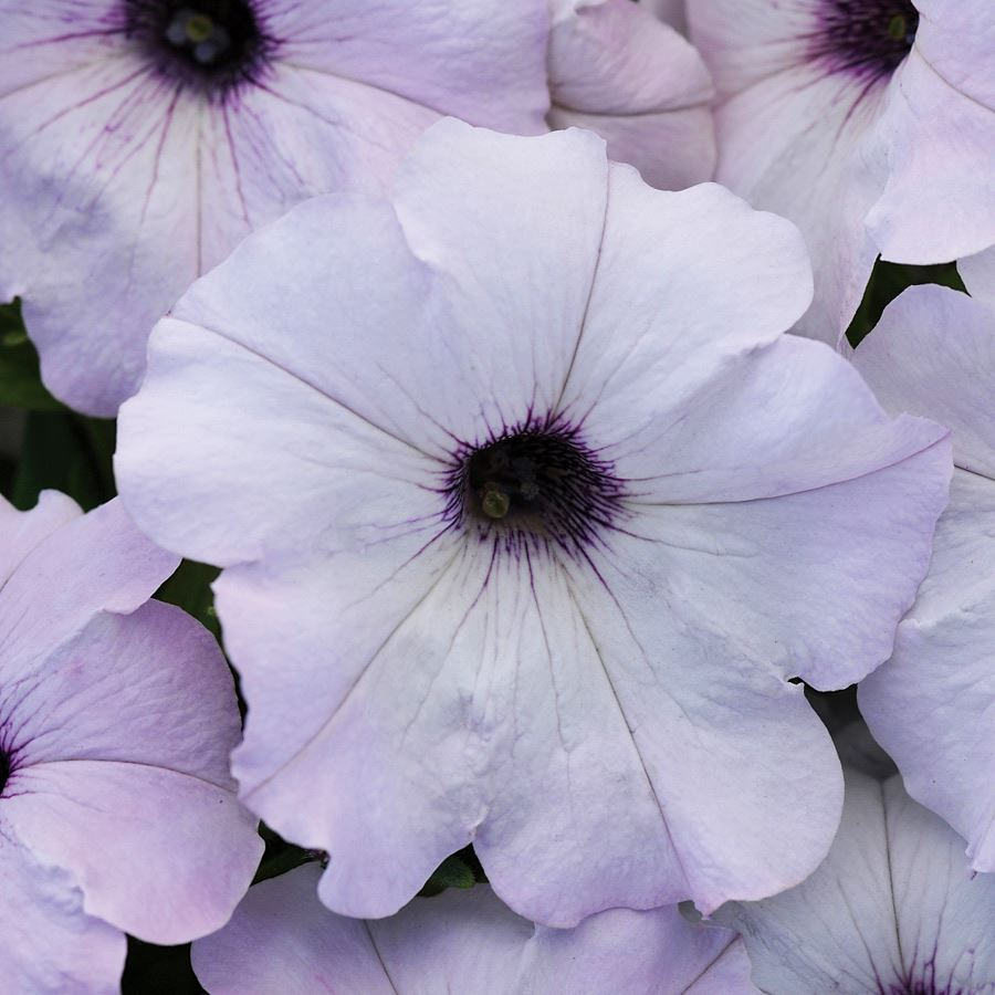 Easy Wave® Silver Hybrid Petunia Seeds Image