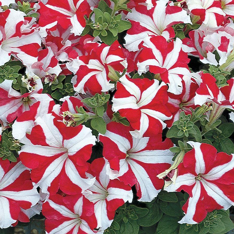 TriTunia™ Red Star Hybrid Petunia Seeds Image