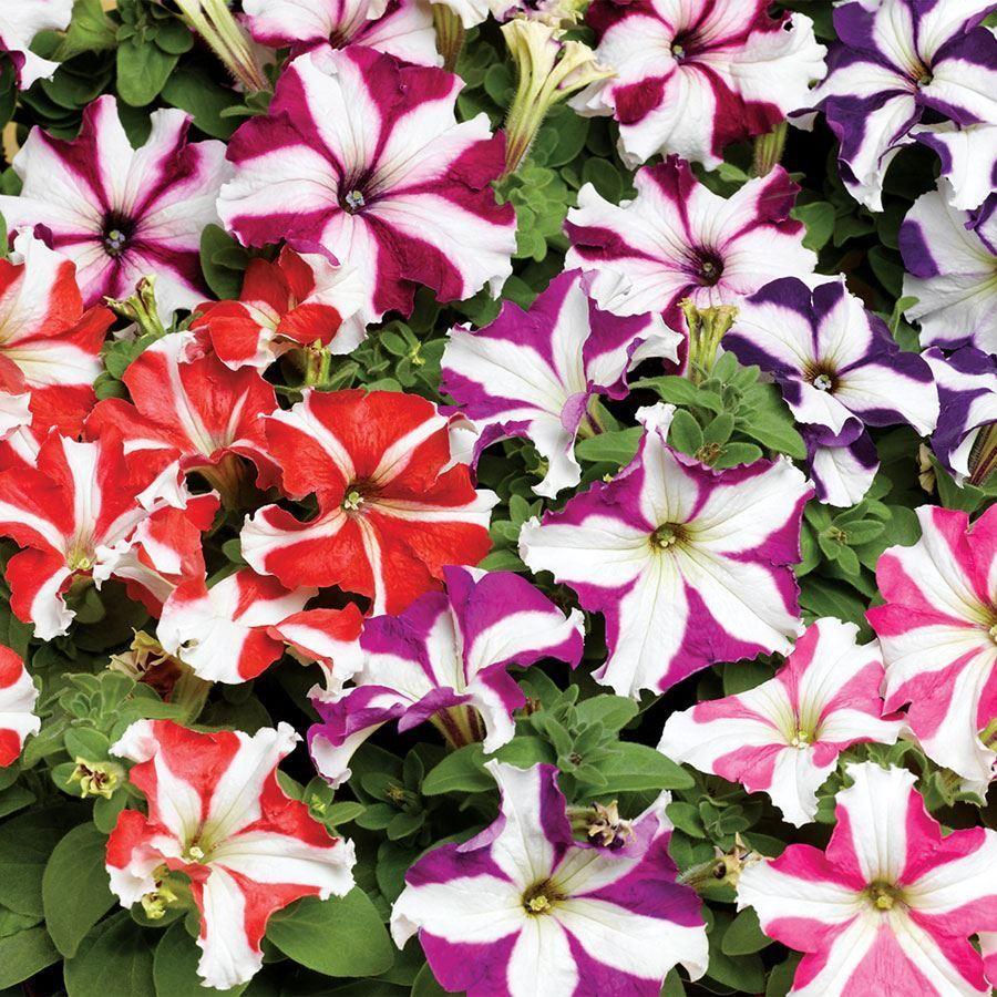 TriTunia™ Star Mix Hybrid Petunia Seeds Image