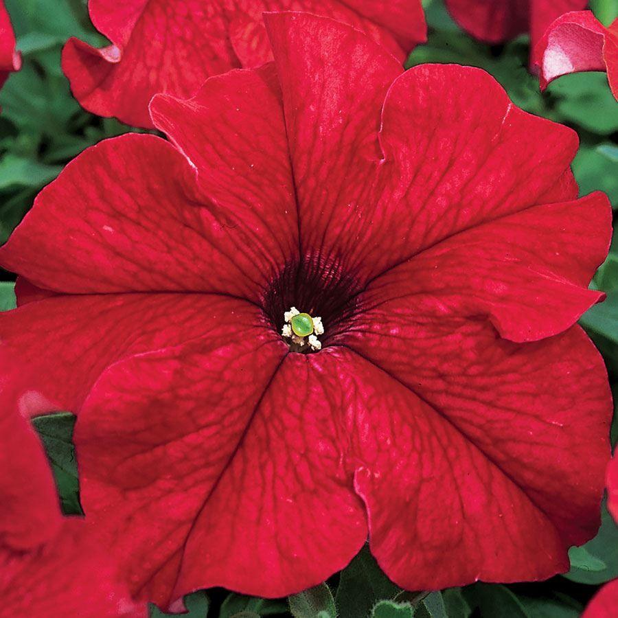TriTunia™ Red Hybrid Petunia Seeds Image