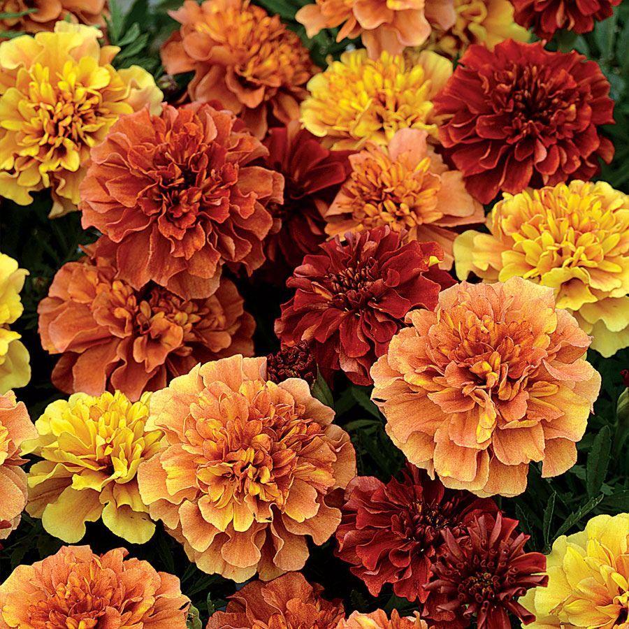 Strawberry Blonde Marigold Seeds Image