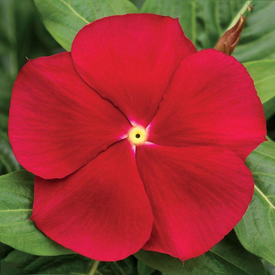 Cora® Classic Red Hybrid Vinca Seeds Image
